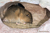 1116-0801  Botta's Pocket Gopher (Valley Pocket Gopher) Underground in Burrow, Thomomys bottae © David Kuhn/Dwight Kuhn Photography