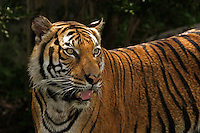 Dec 22, 2009 - A Chinese villager has reportedly killed and eaten the country's last wild Indochinese tiger, and has been sentenced to 12 years in prison. It is thought by some scientists to be the most closely related animal to the original ancestors of all tigers.