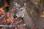 White-tailed doe eating acorns