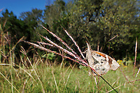 Common Snout Butterfly (Libytheana bachmanii), adult feeding on flowering grass, Comal County, Hill Country, Central Texas, USA