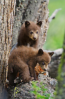 Wild Black Bear cubs (cubs will be brown or cinnamon color phase when they grow up).  Western U.S., Spring.