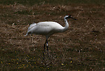 Whooping crane walking in field in Grays Lake National Wildlife Refuge, Idaho