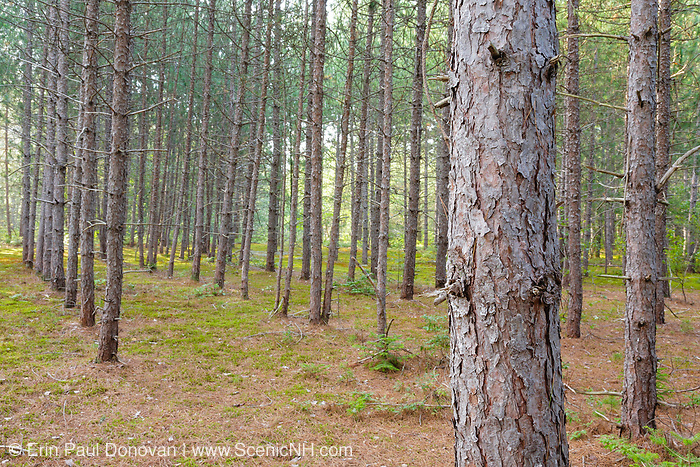A young Red Pine Forest ( Pinus resinosa ) during the summer months in Albany, New Hampshire USA