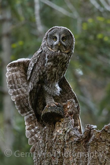 Great Gray Owl (Strix nebulosa) wing stretching. Jackson County, Oregon.