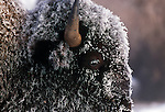 Frost covers the head of a bison in Yellowstone National Park, Wyoming.