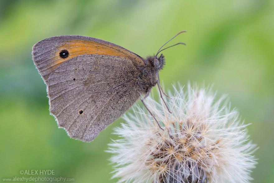 Meadow brown butterfly (Maniola jurtina) Peak District National Park, Derbyshire, UK. July.
