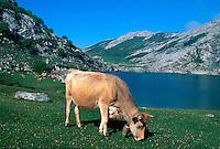 Spanien, Asturien, Picos de Europa, Kuh am Enol-See