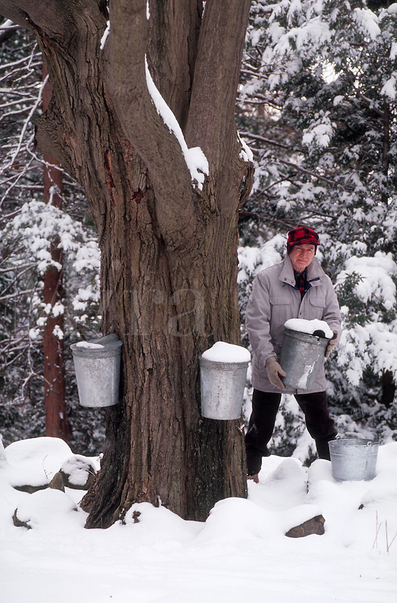 Man posing with his sap buckets while he collects sap from the maple tree to make maple syrup. Massachusetts.