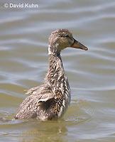 0219-1204  Mallard Duckling, Anas platyrhynchos  © David Kuhn/Dwight Kuhn Photography