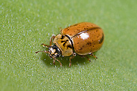 Nadelbaum-Marienkäfer, Berg-Marienkäfer, Aphidecta obliterata, larch ladybird, larch ladybug
