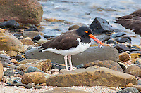American Oystercatcher, Sea of Cortez, Baja, Mexico