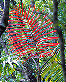 actinokentia divaricata