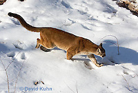 0218-1004  Mountain Lion (Cougar) in Snow, Puma concolor (syn. Felis concolor)  © David Kuhn/Dwight Kuhn Photography.