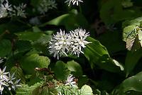 Blühender Bärlauch (Allium ursinum) im Ekkodalen (Echotal) auf der Insel Bornholm, Dänemark, Europa<br /> bear leek (Allium ursinum) in Ekkodalen, Isle of Bornholm Denmark