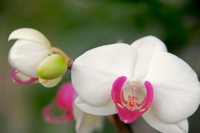 "Orchid.Phalaenopsis. ""Fragrant Beauty"". Oregon Coast Garden Center."