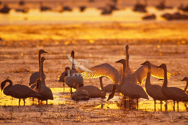 Tundra swans or whistling swans (Cygnus columbianus) sunrise, Winter.