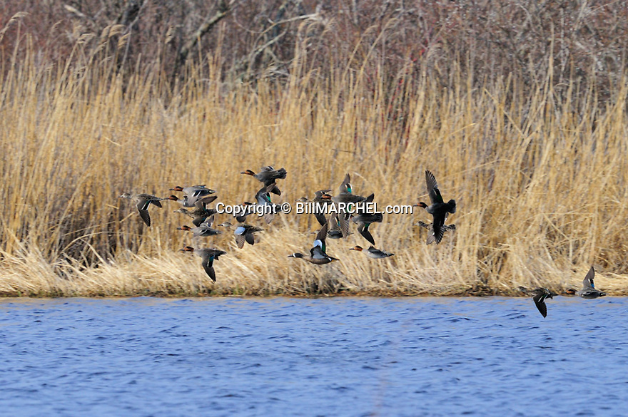 00310-016.14 Green-winged Teal flock in flight contains a blue-winged teal or two.  Hunt, waterfowl, wetland.