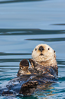 Sea otter, Port Wells, Prince William Sound, southcentral, Alaska. Canon 1Ds Mark III, 500mm f/4L IS w/1/4x (700mm), 1/500 sec @f/9, ISO 400, hand held.