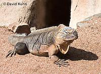 0629-1101  Exuma Island Iguana (Northern Bahamian Rock Iguana), Bahamas, Cyclura cychlura figginsi  © David Kuhn/Dwight Kuhn Photography
