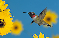Ruby-throated Hummingbird, Archilochus colubris,male feeding on Sunflower, Welder Wildlife Refuge, Sinton, Texas, USA