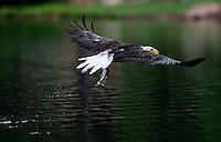 Aug. 14, 2012; Wood Canyon Lake trees forest bird bald eagle fish rainbow trout feeding Mandatory Credit: Mark J. Rebilas