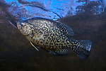 Black Crappie full body view swimming left near surface