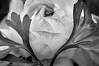 Ranunculus flower close up. Al's Nursery, Woodburn, Oregon