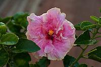 Pink hibiscus hybrid, Kauai.