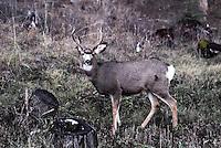 Mule deer buck in the Kootenai National Forest Montana