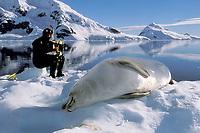 scuba diver preparing to film crabeater seal, Lobodon carcinophagus, Antarctica
