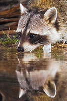 Northern Raccoon (Procyon lotor), adult at night drinking, Uvalde County, Hill Country, Central Texas, USA, North America