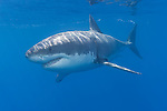 Guadalupe Island, Baja California, Mexico; a large, adult male Great White Shark (Carcharodon carcharias) swimming just below the water's surface