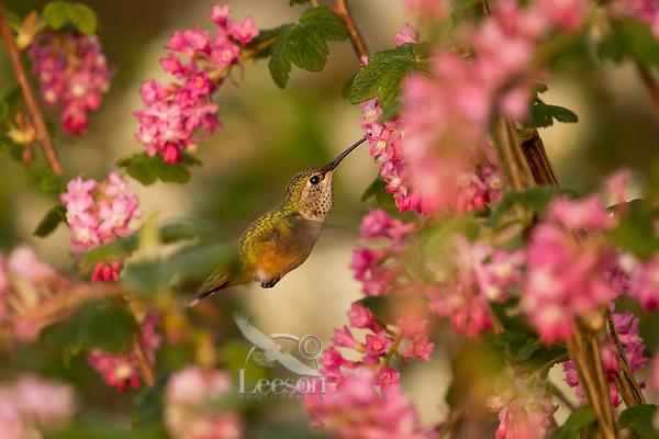 Female Rufous Hummingbird (Selasphorus rufus) nectaring on Red-flowering Currant (Ribes sanguineum).  Western Washington.  April.