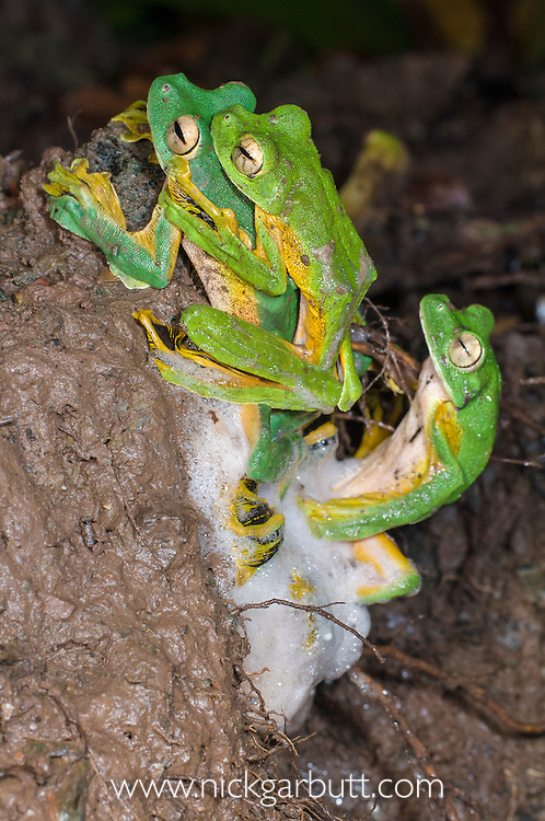 Wallace's Flying Frog (Rhacophorus nigropalmatus) at night congregating and  breeding at temporary pool formed after rain. Danum Valley, Sabah, Borneo.