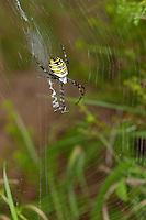 Zebraspinne, Wespenspinne, Argiope bruennichi, Spinne in ihrem Nest mit zickzack-förmigen Stabiliment, black-and-yellow argiope, black-and-yellow garden spider
