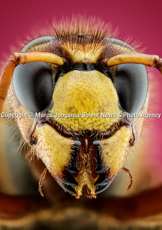 Pictured: Macro detail of a European hornet.<br /> <br /> A set of close ups show the fascinating human traits of insects.   The shots show what appear to be the grin of a cheeky hornet, a red palm weevil warming up for a boxing match and a fluffy spider, amongst others.<br /> <br /> Science photographer Marco Jongsma photographing insects in an attempt to combat his fear of the bugs by showing their features in detail unattainable to the naked eye.   Mr Jongsma took the photos in the garden and nature park of his home fishing village of Lemmer, in the Netherlands, and says his aversion to creepy-crawlies began when he reacted badly to a wasp sting as a young man.   SEE OUR COPY FOR DETAILS<br /> <br /> Please byline: Marco Jongsma/Solent News<br /> <br /> © Marco Jongsma/Solent News & Photo Agency<br /> UK +44 (0) 2380 458800