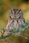 Western screech-owl, Washington
