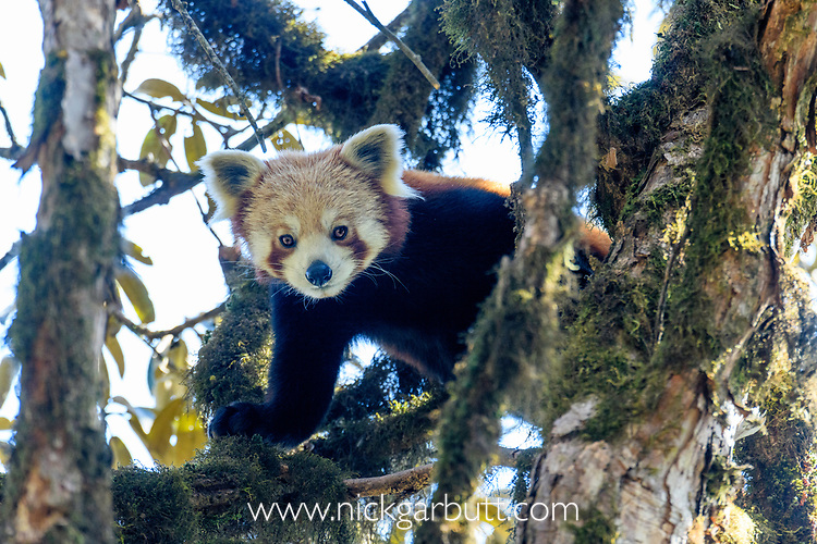 Young red panda (Ailurus fulgens) (western subspecies A. fulgens fulgens) (sometimes lesser panda, red bear-cat, red cat-bear) climbing in temerate forest understorey. Mid montane forest, Himalayan foothills, Singalila National Park, India / Nepal Border.