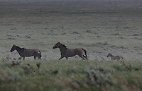 A band (horse family) runs through rain during a passing summer thunderstorm.  <br /> <br /> The Gila herd are of Spanish origin and came to North America with the Spanish conquistadors.  They were rescued by Karen Sussman and the International Society for the Protection of Mustangs and Burros.