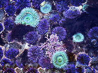 Close up of Purple Sea Urchins at minus tide. Devils Punchbowl State Natural Area, Oregon