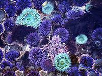 Close up of Purple Sea Urchins at minus tide. Devils Punchbowl State Natural Area, Oregon