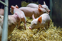 Sows and piglets in a farrowing house fitted with sow stalls - Lincolnshire