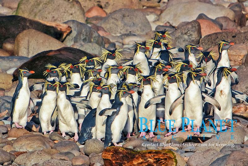 Northern Rockhopper Penguins, Eudyptes moseleyi, endangered, endemic to the Tristan Da Cunha island group, taken from a Zodiac at Gough Island (landing is not allowed on Gough Island itself), South Atlantic Ocean