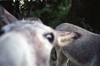 Donkey pushing nose at viewer<br />