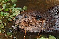 Beaver (Castor canadensis) chewing alder twigs, autumn, Nova Scotia, Canada.