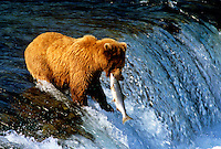 Alaska Brown Bear Catching Salmon Brooks Falls in Katmai Park Alaska USA