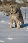 Canada lynx (Lynx canadensis) standing in the snow