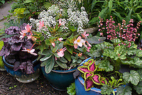 Container gardens pots, Sedum, Coleus, Alyssum Lobularia, Heuchera Berry Timeless in bloom, Heuchera Grape Expectations purple foliage, Begonia, Cyperus, in pretty blue pots with annuals and pernnials mixed together
