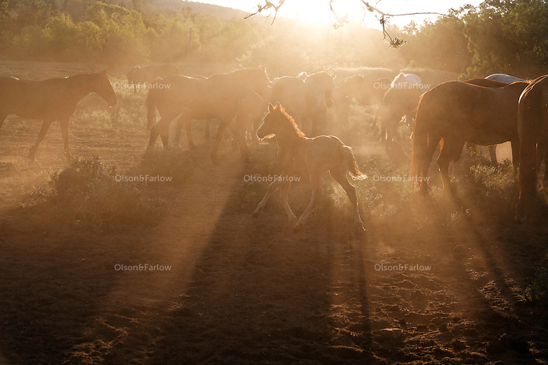 """Dust rises and the mustang herd stirs in early morning on the Wild Horse Sanctuary.  <br /> <br /> The Sanctuary is located near Shingletown, California on 5,000 acres of lush lava rock-strewn mountain meadow and forest land. <br /> Dianne Nelson has saved mustangs on a ranch in northern California.  """"It was in 1978 that the Wild Horse Sanctuary founders rounded up almost 300 wild horses for the Forest Service in Modoc County, California. Of those 300, 80 were found to be un-adoptable and were scheduled to be destroyed at a government holding facility near Tule Lake, California. <br /> The Sanctuary is located near Shingletown, California on 5,000 acres of lush lava rock-strewn mountain meadow and forest land. Black Butte is to the west and towering Mt. Lassen is to the east. <br /> Their goals:<br /> Increase public awareness of the genetic, biological, and social value of America's wild horses through pack trips on the sanctuary, publications, mass media, and public outreach programs.<br /> Continue to develop a working, replicable model for the proper and responsible management of wild horses in their natural habitat.<br /> Demonstrate that wild horses can co-exist on the open range in ecological balance with many diverse species of wildlife, including black bear, bobcat, mountain lion, wild turkeys, badger, and gray fox..Collaborate with research projects in order to document the intricate and unique social structure, biology, reversible fertility control, and native intelligence of the wild horse."""