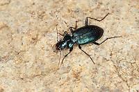 Blauer Bartläufer, Blauer Dornbart, Laufkäfer, Leistus spinibarbis, Pogonophorus spinibarbis, Ground beetle